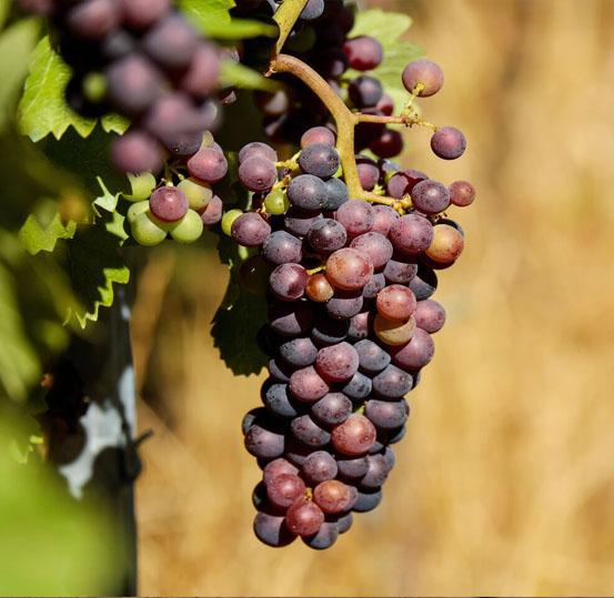 cardinal szőlő