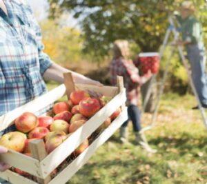 almaszuret2-kep005